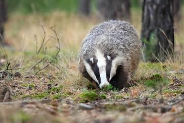 European badger, lat. Meles meles