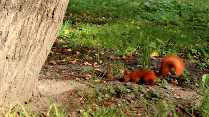 cute furry squirrel digs in ground near tree, then runs away