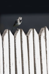 white wagtail on a wooden fence, Motacilla alba, vertical view