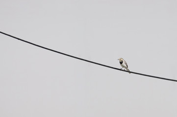 young white wagtail on a cable