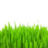 Fresh green wheat grass with drops and bokeh  / isolated