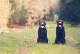 Fototapeta Dwa labradory na leśnej polanie