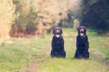 Two Chocolate Labradors on Forest Path