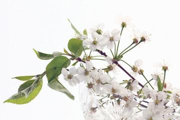 cherry blossom in glass white background