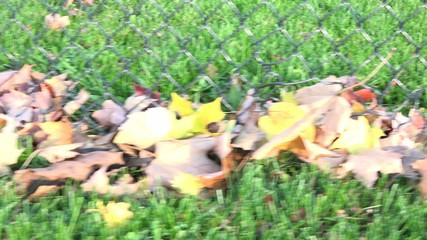 Fallen Maple Leaves on Garden in Autumn