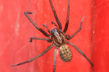 Detail of the big Spider on the red Background