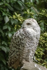 White snow owl