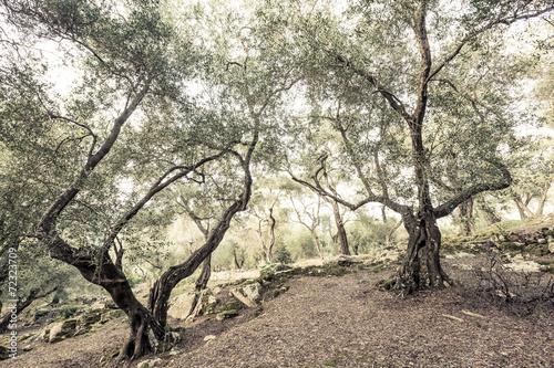 Tuinposter Olijfboom alte Olivenbäume