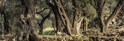 Staande foto Olijfboom alte Olivenbäume