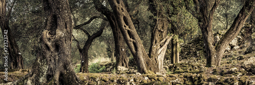 Poster Olijfboom alte Olivenbäume