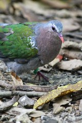 common emerald dove - Green-winged pigeon