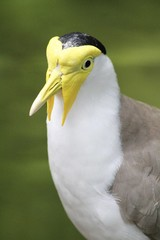 Masked Lapwing Bird - Wings of Asia