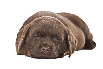 Chocolate Labrador Puppy Asleep