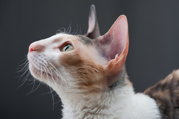 Cornish Rex Cat close-up