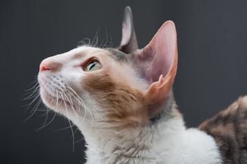Cornish Rex Cat close-up