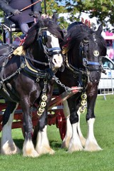 pair of working shire horses