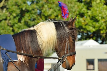 Brown and white show pony with head dress