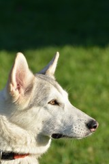 White Husky dog head