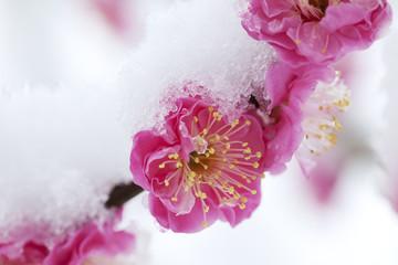 紅梅に積もる雪