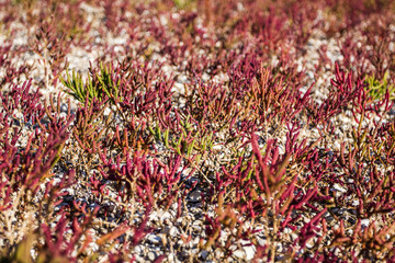 The glasswort (lat. Salicornia borysthenica), plant is which gro