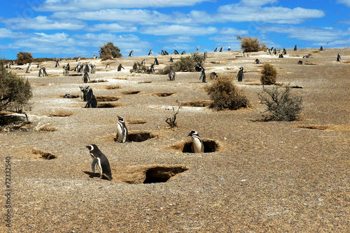 In de dag Pinguin Colony of Magellanic Penguins at Punta Tombo, Argentina