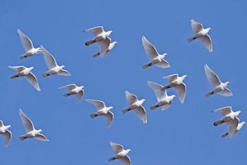 Weiße Tauben fliegen