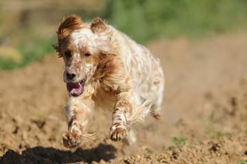 english setter running
