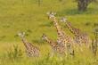 Giraffe Family in the Veldt