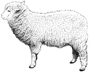 羊 ペン画