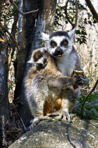 Ring-tailed lemur (lemur catta) and cute cup, madagascar Poster