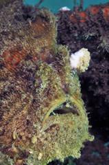 Anglerfish(ボンボリカエルアンコウ)