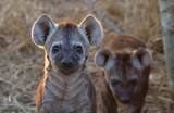 Curous Hyena Pup at Kruger National Park, South Africa