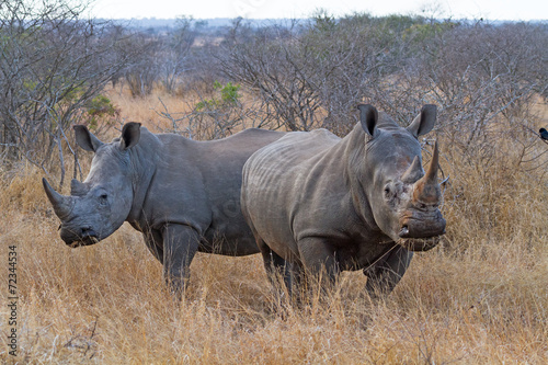 Foto op Canvas Neushoorn White Rhinos Grazing at Kruger National Park, South Africa