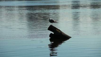 lonely gray gull
