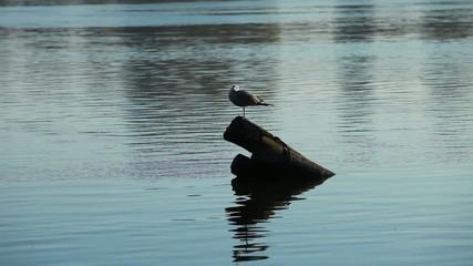 lonely gray gull