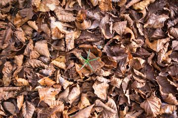 germoglio di pini in fondo di foglie secche