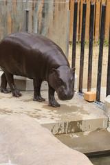 コビトカバ -Pygmy hippopotamus-