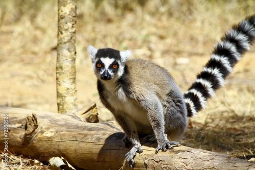 Poster Ring-tailed lemur (lemur catta), madagascar