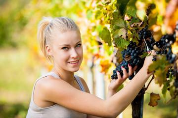 Beautiful young blonde woamn harvesting grapes in vineyard