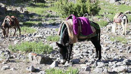 Donkey under saddle. Tajikistan