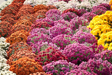 Background of blooming chrysanthemums