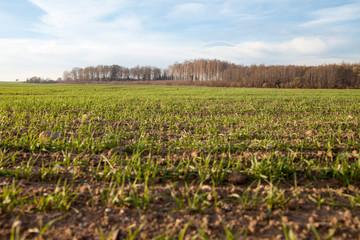 Autumn in wheat field.