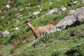 Isard ou chamois des Pyrénées (rupicapra pyrenaica)