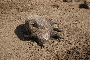 boar loves the sun