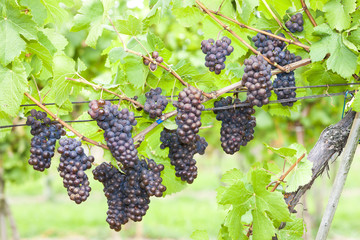 grapes in vineyard (pinot gris), Southern Moravia, Czech Republi