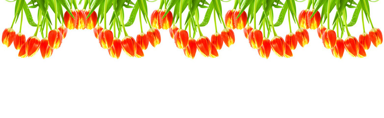 Red tulips isolated on white.
