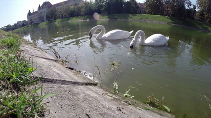 A Pair of Beautiful White Swans in City Lake