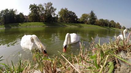 Swans Eating Grass on Lake