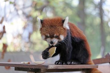 レッサーパンダ -Red Panda-