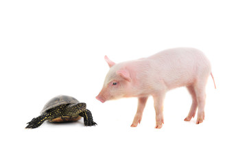 turtle and pig